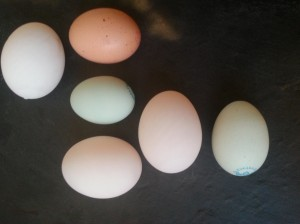 Duck, Old Blue Cotswold and modern speckled brown chicken egg.